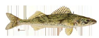 Ontario Walleye Fishing - Lake of the Woods Walleye Fishing ...